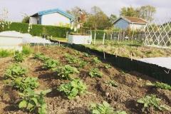 Potatisplantor