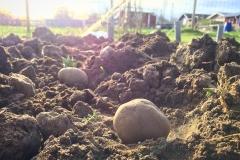 Sätta potatis